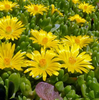 Снимка Делосперма жълта /Delosperma Yellow/...