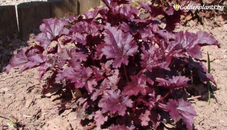 Снимка Хойхера Пурпурен Дворец /Heuchera Palace purple micrantha/