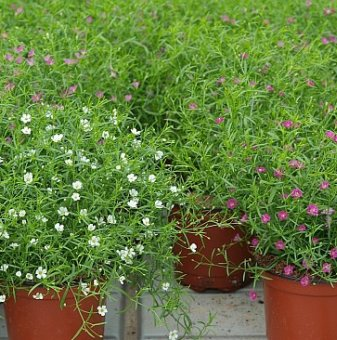 Салвия Sensation Compact Bright Rose /Salvia nemorosa Sensation Compact Bright Rose/