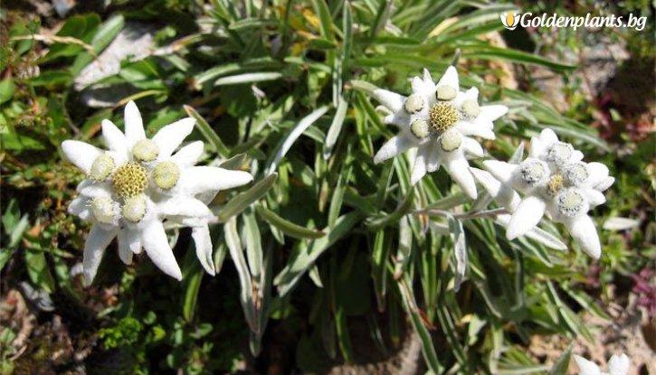 Снимка Еделвайс /Leontopodium Alpinum White/