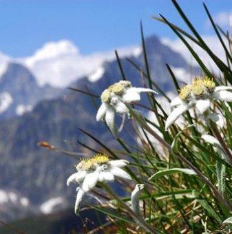 Еделвайс /Leontopodium Alpinum White/