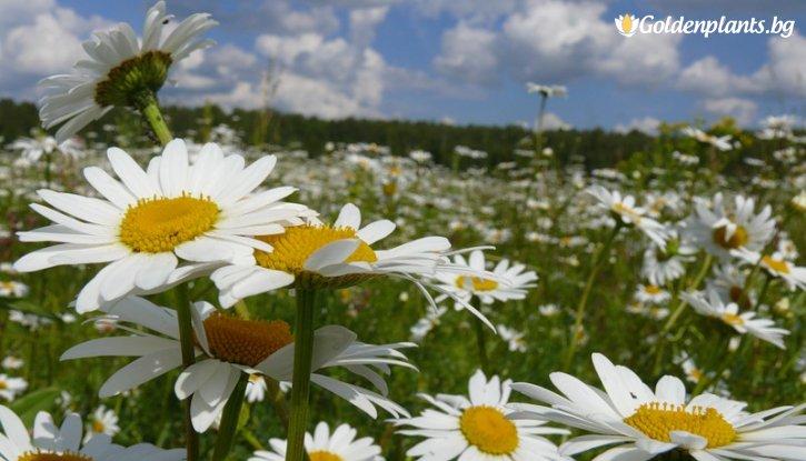 Снимка Маргарита бяла /Leucanthemum LaCrosse (Chrysanthemum)/