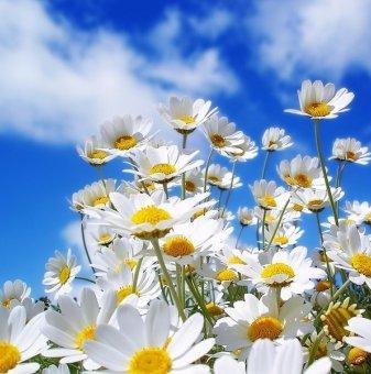 Маргарита бяла /Leucanthemum LaCrosse (Chrysanthemum)/..