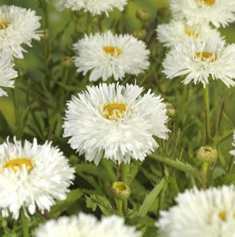 Маргарита кичеста /Leucanthemum Laspider (Chrysanthemum)/..