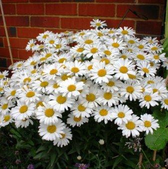 Снимка Маргарита ниска Snow Lady /Leucanthemum  Snow Lady (Chrysanthemum)/...