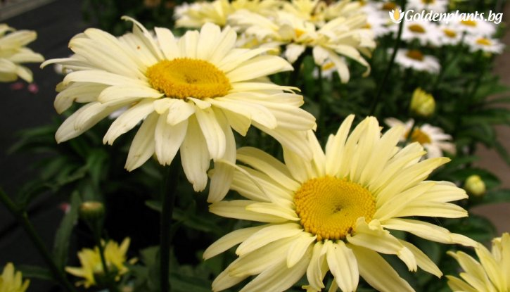 Снимка Маргарита бананов крем /Leucanthemum Banana Cream (Chrysanthemum)/