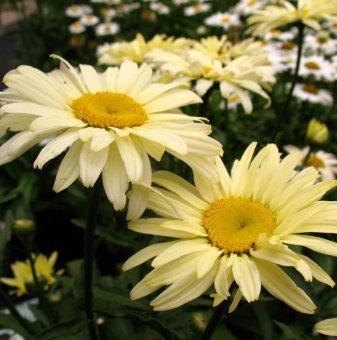 Снимка Маргарита бананов крем /Leucanthemum Banana Cream (Chrysanthemum)/...
