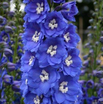 Делфиниум - Ралица синя /Delphinium Pacific Giants Blue Bird/...
