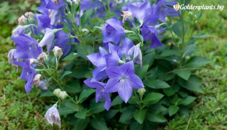 Снимка Платикодон Astra Blue /Platycodon grandiflorus Astra Blue/