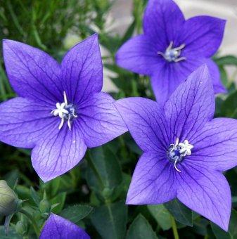 Платикодон Astra Blue /Platycodon grandiflorus Astra Blue/..