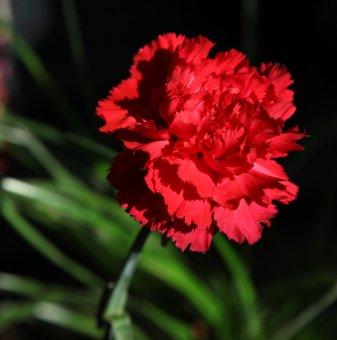 Снимка Карамфил Oscar тъмно червен /Dianthus Oscar Dark Red/...