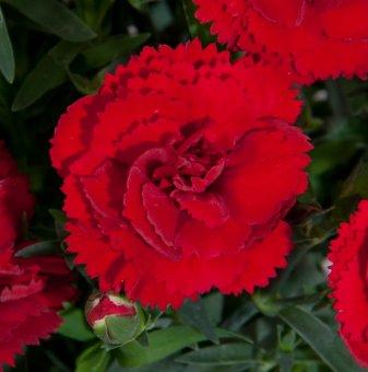 Снимка Карамфил Colores Sangre /Dianthus Colores Sangre/...