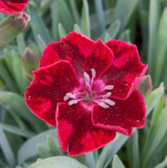 Снимка Карамфил Diantica Velvet /Dianthus Diantica Velvet/...