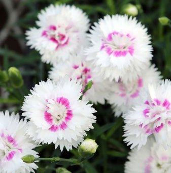 Снимка Карамфил Diantica White Eye /Dianthus Diantica White Eye/...