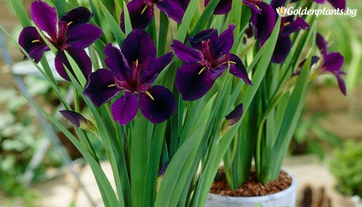 Снимка Ирис / Перуника Louisiana Black Gamecock /Iris Louisiana Black Gamecock/