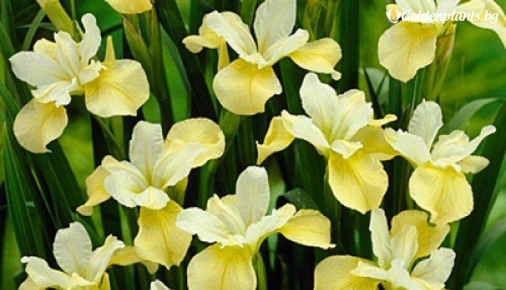 Снимка Ирис / Перуника Sibirica Butter and Sugar /Iris Sibirica Butter and Sugar/