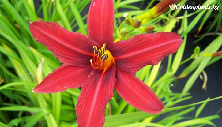 Снимка Хемерокалис Crimson Pirate /Hemerocallis Crimson Pirate/
