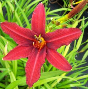 Хемерокалис Crimson Pirate /Hemerocallis Crimson Pirate/...