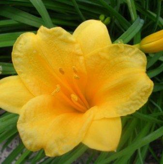 Снимка Хемерокалис Stella de Oro /Hemerocallis Stella de Oro/...