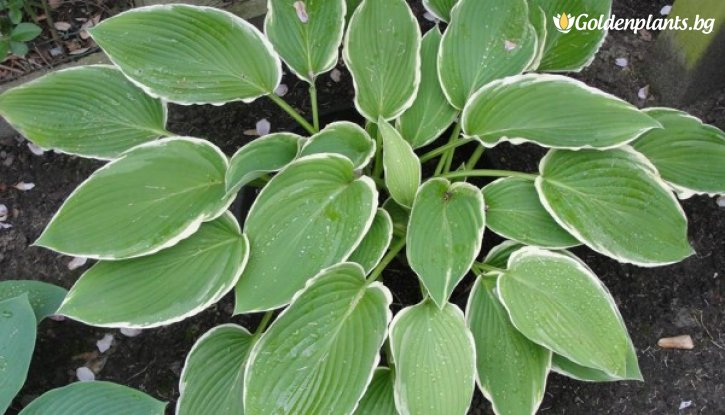 Снимка Хоста Frosted Jade /Hosta Frosted Jade/