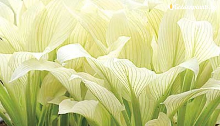Снимка Хоста White Feather /Hosta White Feather/