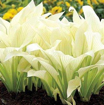 Хоста White Feather /Hosta White Feather/