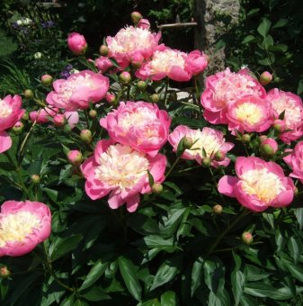 Божур Bowl of Beauty /Paeonia  Bowl of Beauty/