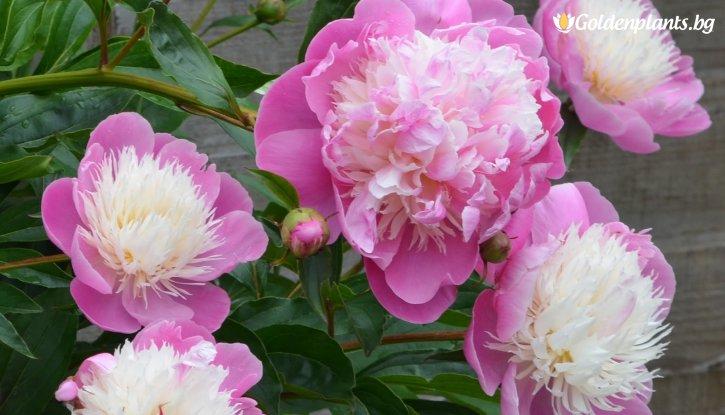Снимка Божур Bowl of Beauty /Paeonia  Bowl of Beauty/