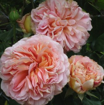 Божур Lady Kate /Paeonia Lady Kate/