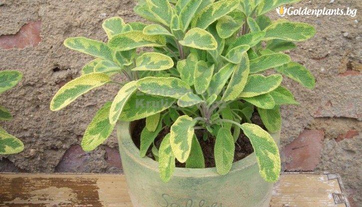 Снимка  Салвия двуцветна /Salvia Bicolour/