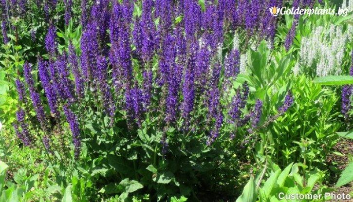 Снимка  Салвия Sensation Compact Deep Blue /Salvia nemorosa Sensation Compact Deep Blue/