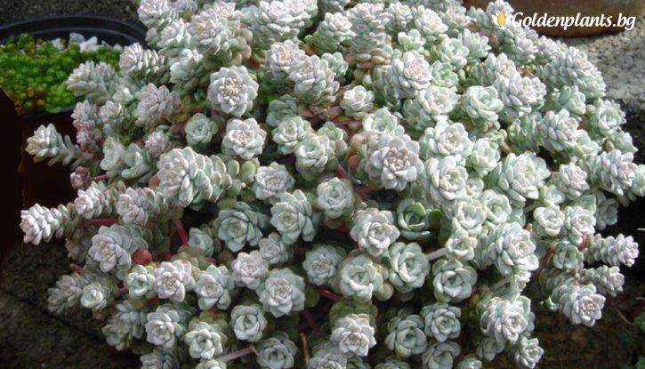 Снимка Седум Cape Blanco / Sedum spathulifolium Cape Blanco/