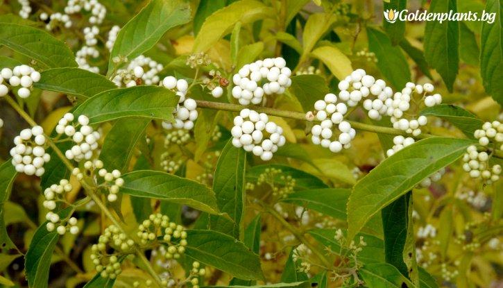 Снимка Каликарпа japonica Leucocarpa /Callicarpa japonica Leucocarpa/