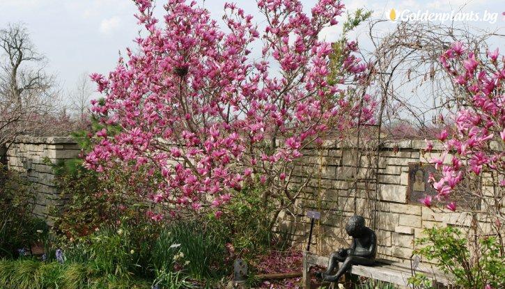 Снимка Магнолия liliiflora Nigra /Magnolia liliiflora Nigra/
