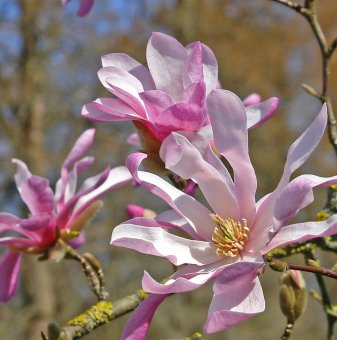 Магнолия loebneri Leonard Messel /Magnolia loebneri Leonard Messel/..