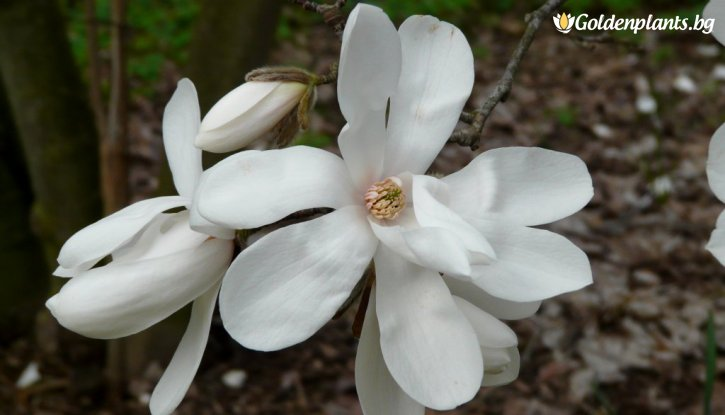 Снимка Магнолия loebneri Merrill /Magnolia loebneri Merrill/