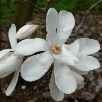 Магнолия loebneri Merrill /Magnolia loebneri Merrill/..