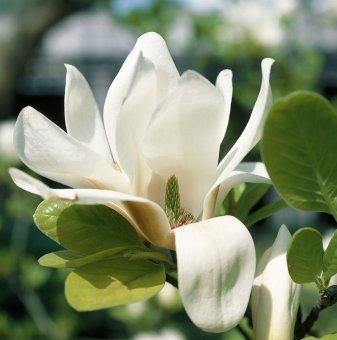 Магнолия Superba / Magnolia Superba /...