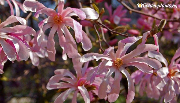 Снимка Магнолия Stellata Rosea /Magnolia Stellata Rosea/