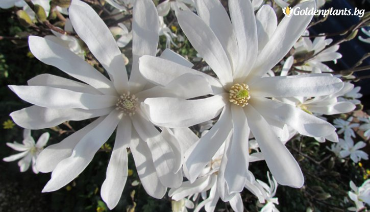Снимка Магнолия Stellata Royal Star /Magnolia Stellata Royal Star/