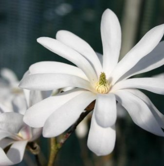 Снимка Магнолия Stellata Royal Star /Magnolia Stellata Royal Star/...
