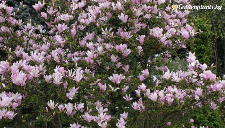 george henry kern magnolia george henry kern. Black Bedroom Furniture Sets. Home Design Ideas