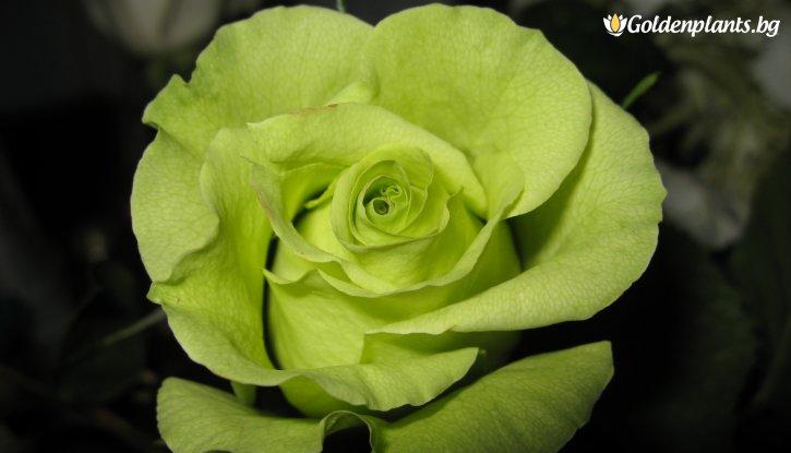 Снимка Зелена щамбова роза - дърво 110-140 см