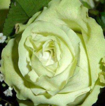 Бяла със зелено щамбова роза - дърво 110-140 см
