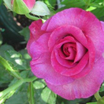 Цикламена щамбова роза - дърво 110-140 см