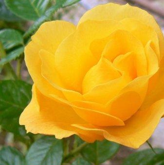 Тъмно жълта щамбова роза - дърво 110-140 см
