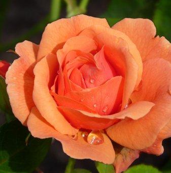 Прасковена щамбова роза - дърво 110-140 см