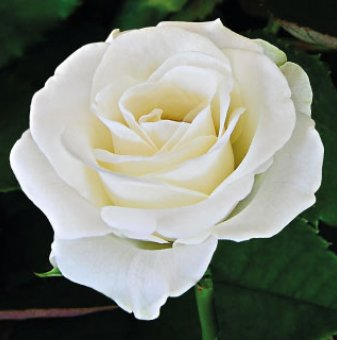 Снимка Бяла щамбова роза Акито - дърво 110-140 см...