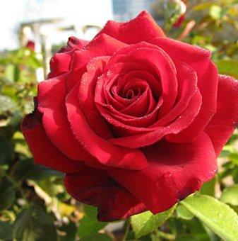 Снимка Червена + оранжева + жълта щамбова роза - дърво 110-140 см...