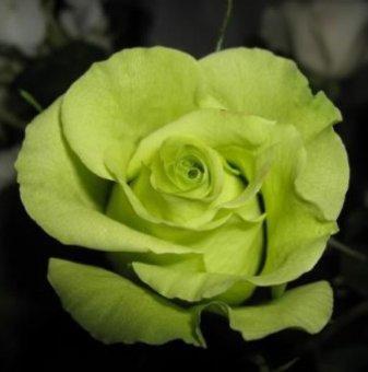 Снимка Бяла + зелена + червена щамбова роза - дърво 110-140 см...